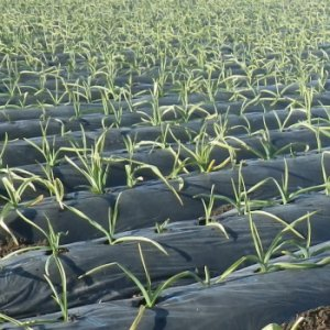 『JA全農長野 信州そらまめ農園高見澤さんちのにんにくみそ 200g×3個』の1枚目の画像