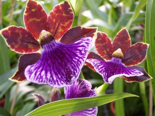 Mühlan Topartikel- 1 blühfähige Orchidee der Sorte: Zygopetalum, 13cm Topf, starker Duft