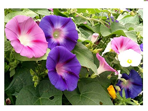 Lot de 20 graines d'Ipomée à grandes fleurs en mélange - plantes annuelles
