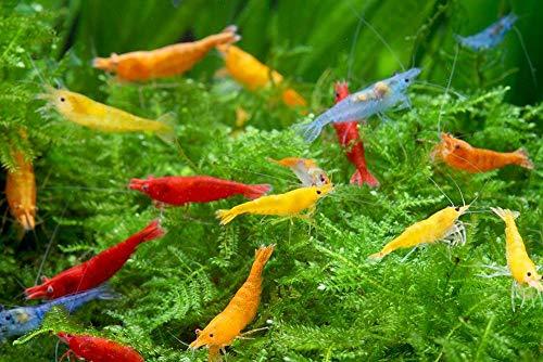 ShrimpRack 10 Mixed Color Neocaridina Shrimp Skittles Pack Freshwater Aquarium Shrimps 1/4 to 1/2 inch Long.