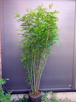 シマトネリコ 7本以上の株立ち 全長150CM 常緑樹