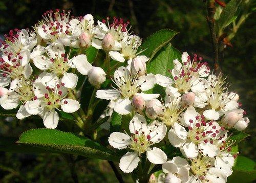 "Brilliantissima Red Chokeberry - Aronia - Hardy - 4"" Pot"