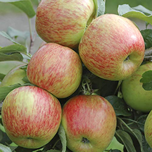 Apple Braeburn Tree in 7.5L Pot