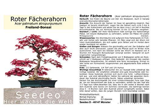 Seedeo® Roter Fächerahorn (Acer palmatum atropurpureum) Bonsai 20 Samen