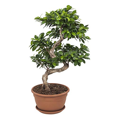 Bonsai von Botanicly – Bonsai –...