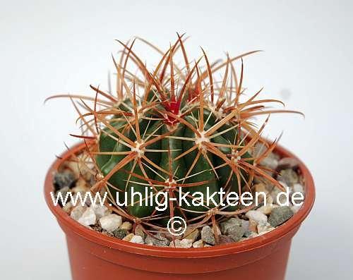 Ferocactus viridescens littoralis 8 cm