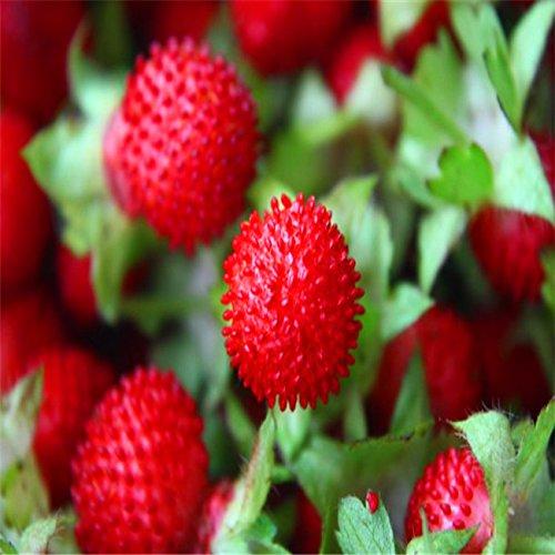 graines de fruits fruits Bonsai Red Giant Le serpent mûre Graines délicieux Framboises 20pcs plante décoration de jardin