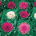 Outsidepride Ornamental Cabbage Seeds