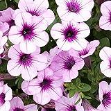 Pflanzen Kölle Hänge-Petunie 'Capella™ Pink Lace', 6er-Set, pink, Topf 13 cm Ø