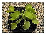 SANHOC Graines Paquet: muscipula Dionaea étaient - vénus piège à Mouches - 3 seedsSEED