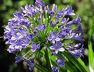 Best agapanthus africanus big blue Reviews