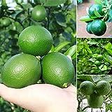 ADOLENB Seed House - Mini Limón Verde Semillas de Lima Árbol Bonsái de Balcón Macetas Verdes Árboles Frutales Semillas de Frutas Jugosas