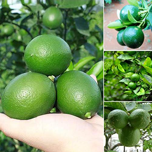 AIMADO Samen-20 Pcs BIO-Kaffir-Limette Samen,Reich an Nährstoffen und Vitaminen,mehrjährige Kübelpflanze obst samen für Topf
