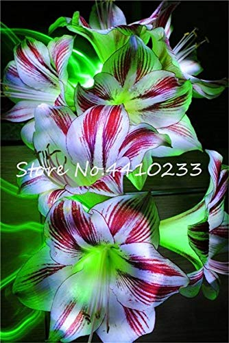 Sumpf frisch 100 Stk. Amaryllis Barbados (keine Zwiebeln) SAMEN zum Pflanzen Mischfarbe 1