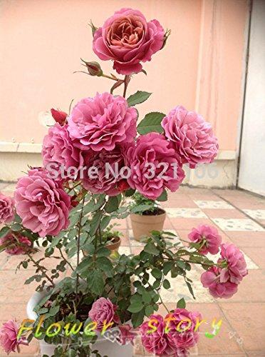200 Mei Lang rouge à lèvres roses graines, fleurs magnifiques et Fragrance Rich, Livraison gratuite.