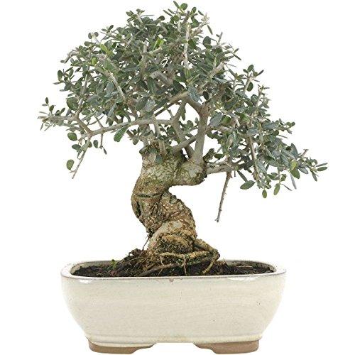 Olivo, bonsái, 12 años, 28 cm