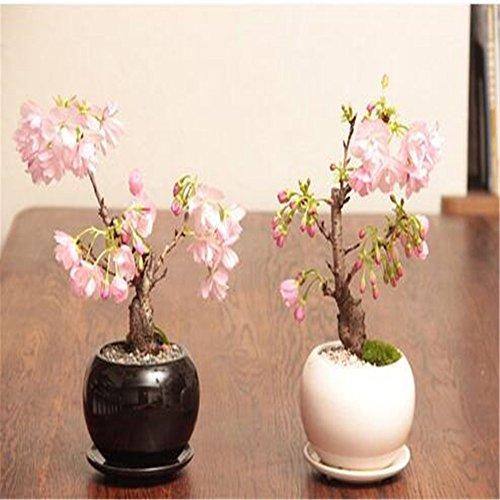 plantes rares fleurs graines de sakura bonsaï Cherry Blossoms arbre graines de fleurs de cerisier Bonsai pour la maison et le jardin