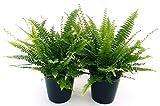 FELCE DA INTERNO 2 PIANTE, PIANTE PURIFICA ARIA, vaso 12 cm, piante vere