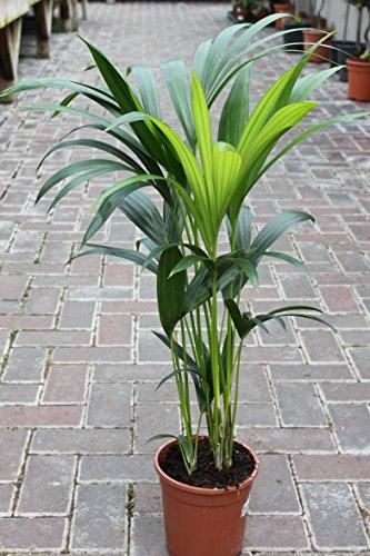 Plante d'intérieur - Plante pour la maison ou le bureau - Howea forsteriana, palmier Kentia - Palmier du Paradis, hauteur 95 cm