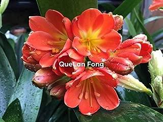 SOPHISTICATE Organic Seeds: 5 Seeds from QueLan Fong X Hirao Steven Pass clivia