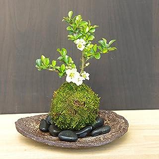 【現在花・蕾なしの状態】年に数回可憐な花が楽しめます【白長寿梅(しろちょうじゅばい)の苔玉・くらま岩器・敷石セット】 (黒石)