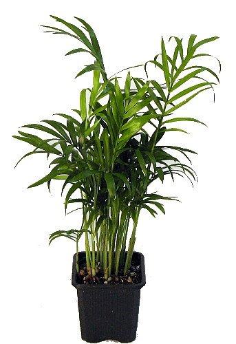 "HIRT的维多利亚式庭院棕榈 -  Chamaedorea  -  4""锅 - 活植物"