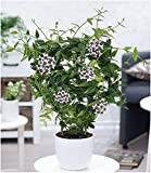BALDUR-Garten Wachsblume'Hoya Bella',1 Pflanze Porzellanblume, Rankpflanze