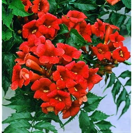 HARDY HummingBirds Love It! Rare YELLOW Hummingbird Trumpet Vine Seeds