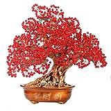 Árbol del dinero bonsai feng shui Tree Premium cristalino grande rubí del árbol del dinero de...