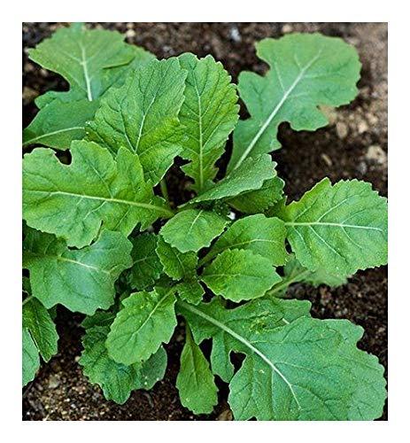 Wasabi arugula - Wasabi - 50 Samen