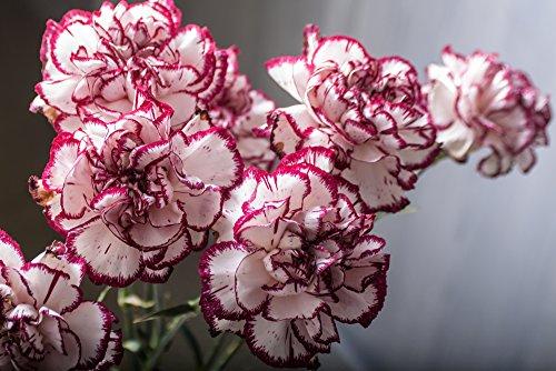 Nelke 'Double Striped' Riesen Chabaud 30 Samen-, Carnation, Dianthus Samen,gefüllte,duftend
