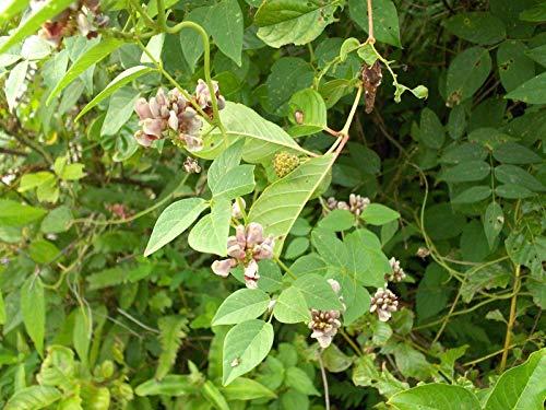 . Semillas de Plantas en Maceta de 20 PC Americanas Semillas Rojas de la Sangre de Arce árbol Bonsai Hogar y jardín: 3