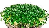Creative Farmer Vegetable Seeds Microgreens Mustard Florida Seeds - Green Mustard Microgreens Seeds Home Garden Seeds