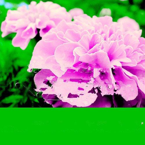 200 Rose Rose Couleur française Marigold Seeds (Tagetes), couleur magnifique, livraison gratuite, beau jardin de la maison fleur grandir facile