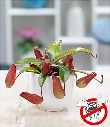 """BALDUR-Garten Kannenpflanze""""Bloody Mary"""", 1 Pflanze Fleischfressende Pflanze Nepenthes"""