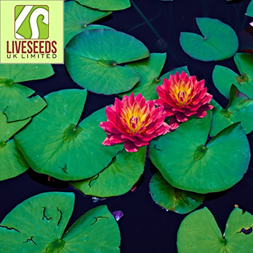 Liveseeds - Mini feu rouge Bonsai Lotus / Water Lily Flower / 5 graines fraîches