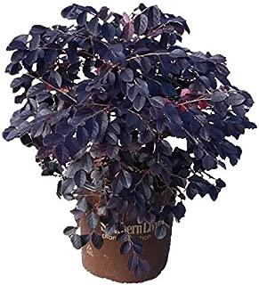 2 Gallon - Purple Diamond Compact Loropetalum - Compact Evergreen Shrub With Purple Foliage and Pink Ribbon-like Blooms