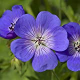 Hardy Geranium 'Rozanne' in a 2L Pot RHS Plant of The Centenary
