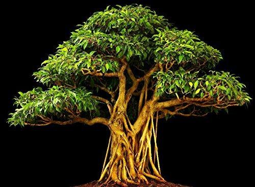 RWS 100 semillas adecuada fig álamo, Ficus religiosa, árbol de Buda, el árbol Bodhi, bonsai