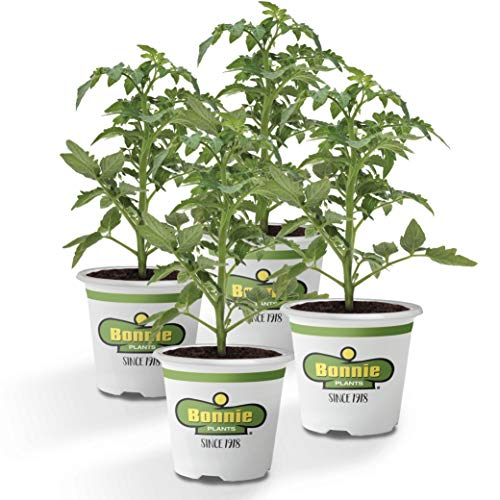 Bonnie Plants Cherokee Purple Tomato Live Vegetable Plants - 4 Pack, Heirloom Tomato, 10 - 12 oz. Fruit Size, Great for Slicing