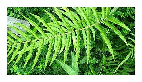 Cyclosorus aridus - fougère - 100 graines