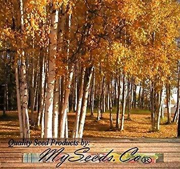 FERRY Keim Seeds: (100) Papierbirken Samen Samen - Papier-Birke