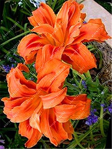 Big Promotion! 100 pcs / sac parfum Lily Graines, bulbes (non lys) graines de fleurs bonsaï Plante en pot d'ornement pour jardin à la maison 13