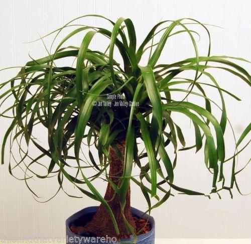 Beaucarnea recurvata Ponytail Palm Seeds Succulent Houseplant Rock Garden Bonsai (20 Seeds)
