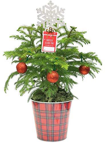 Costa Farms Live Christmas Tree Norfolk Island Pine Decor, 18-Inches Tall, Farmhouse Holiday Décor