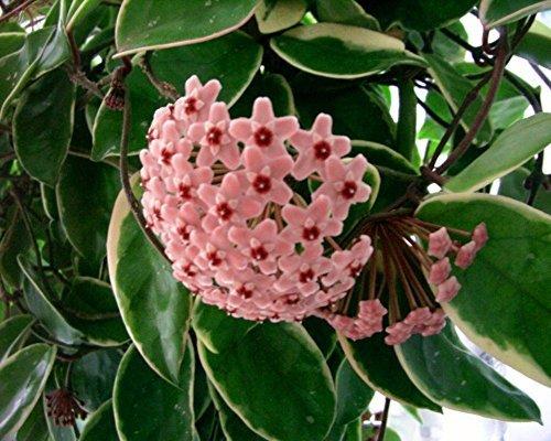 Hoya Carnosa Variegata Plant im Jiffy-Pot, pflegeleichter Dauerblüher :-)!