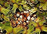 10 türkische Haselnuss Samen, Corylus maxima'Tombul', aus Giresun, Schwarzmeerküste