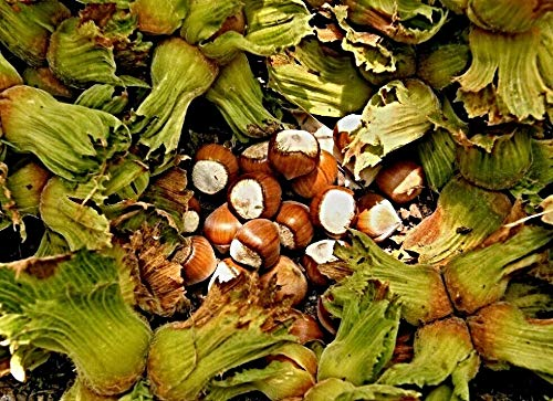 50 türkische Haselnuss Samen, Corylus maxima