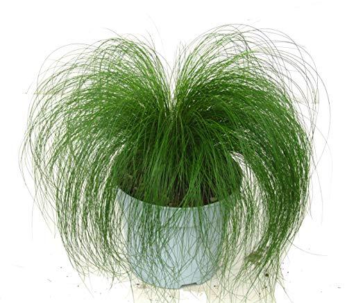 Stipa tenuissima - Engelshaar, Ponyschweif, Ziergras winterhart, immergrün, Topfgrösse 13 cm