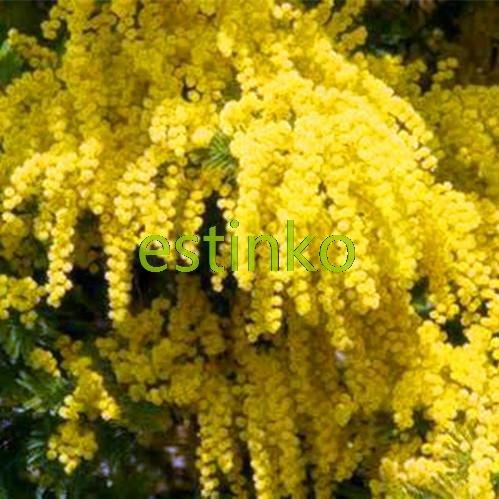 20pcs / lot Jaune Mimosa Graines Graines de fleurs Jardin Bonsai Plante en pot bricolage jardin